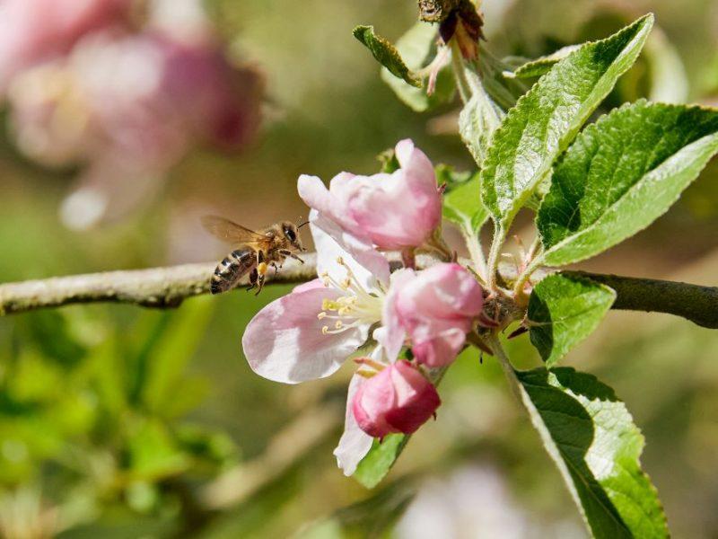 Penrhos Bee